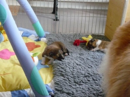 Fiamma and her puppies