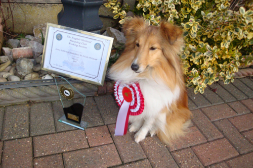 "ESSC, Working Section: ""Sheltie at Work"" Obedience League 2019. 1st in class NOVICE"