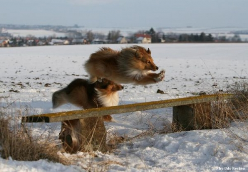 Flying Sheltie, January 2010