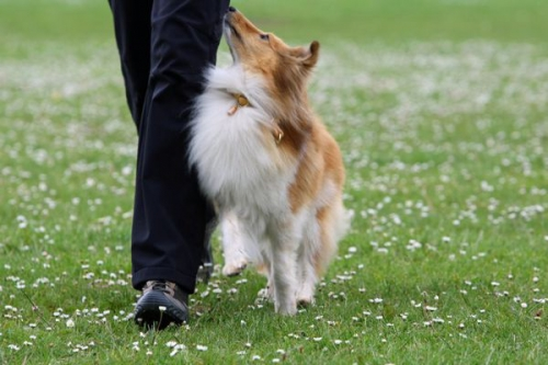 Obedience training with Neil Short, Cwmbran, Wales, May 2016