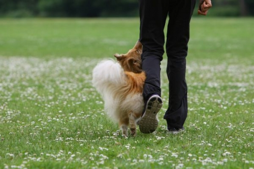 Obedience training with Neil Short, Cwmbran, Wales, June 2016